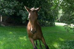 Pferd-Rose-Steffi-Krieger-15