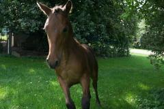 Pferd-Rose-Steffi-Krieger-16