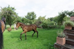 Pferd-Rose-Steffi-Krieger-3