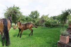 Pferd-Rose-Steffi-Krieger-4